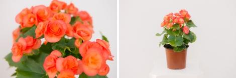 begonia-elatior-02